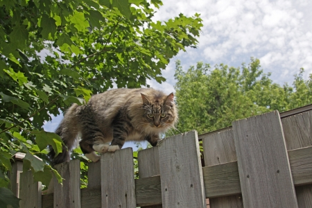 scaling: A cat scaling a fence on the prowl.