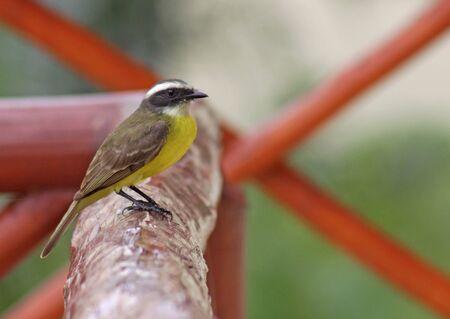 tiran: Een sociale vliegenvanger (Myiozetetes similis) zittend op een houten hek in de Riviera Maya, Mexico.