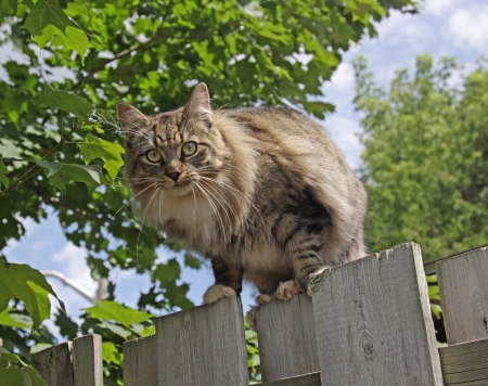 domestic: A domestic cat posing on top of a fence. Stock Photo