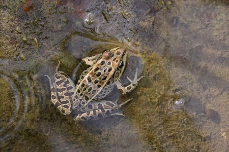 A brown Northern Leopard Frog (Rana pipiens) sitting on edge of a pond.