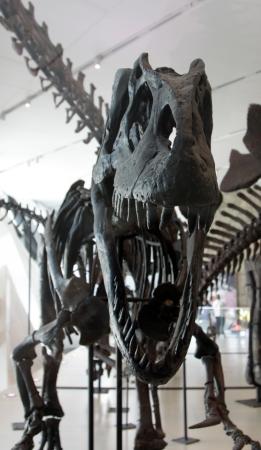 A threatening skeleton of Tyrannosaurus Rex in a museum.