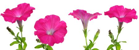 petunias: A four shots of a pink petunia flower isolated on a white background.