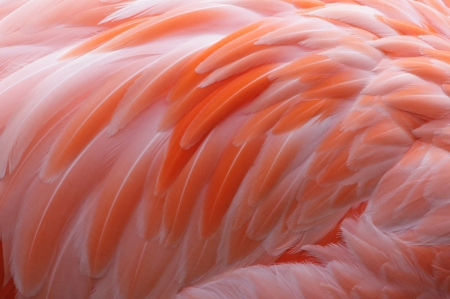 A close-up of pink Flamingo feathers.