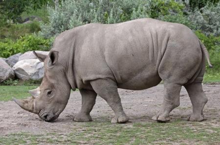 A white rhinoceros (Ceratotherium simum) scavenging for food.