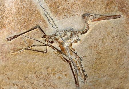 Le fossile d'un dinosaure Ptérodactyle Elegans partir de la fin du Jurassique. (148 millions d'années) Banque d'images - 15659341