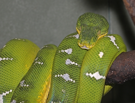 boas: An Emerald Tree Boa (Corallus caninus) is a large boa constricter that lives in the rainforests of South America. Stock Photo