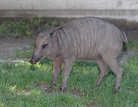 A baby babirusa (Babyrousa) in the grass. photo