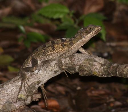 vittatus: A Juvenile Brown Basilisk (Basiliscus vittatus) in a tree.  Shot in the Yucatan peninsula in Mexico.