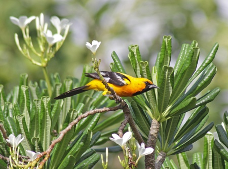 An Altamira Oriole (Icterus gularis) sitting in a palm tree in the Mayan Riviera, Mexico.