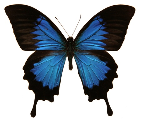 An isolated shot of a Papilio Ulysses butterfly.