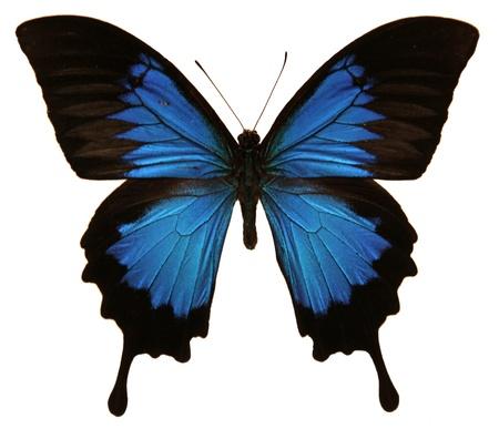 Ein isoliertes Schuss eines Papilio Ulysses Schmetterling. Standard-Bild - 16010958