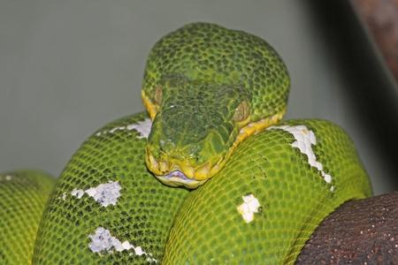 boas: Un Emerald Tree Boa (Corallus caninus) � una grande boa constricter che vive nelle foreste pluviali del Sud America. Archivio Fotografico