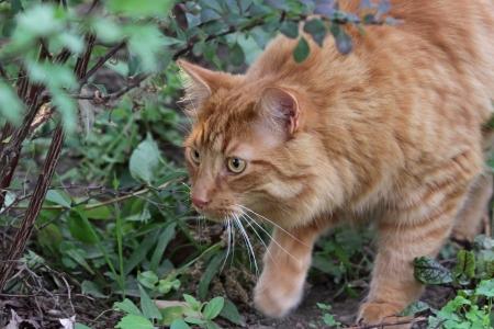 flink: Ein Stalking getigerte Katze auf der Jagd nach Beute