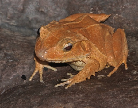 The Solomon Island Leaf Frog  Ceratobatrachus guentheri  is a frog found in Papua New Guinea and the Solomon Islands