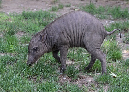 A baby babirusa  Babyrousa  in the grass  photo