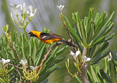 orioles: An Altamira Oriole  Icterus gularis  sitting in a palm tree in the Mayan Riviera, Mexico