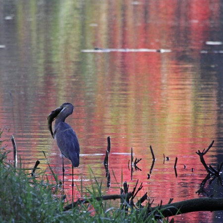 A Great Blue Heron (Ardea herodias) eating a fish it caught shot against the reflection of fall colors in a pond.  Shot in Ontario, Canada. photo