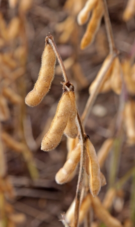 max: Soybean (Glycine max) crop shot at dusk right before harvest.