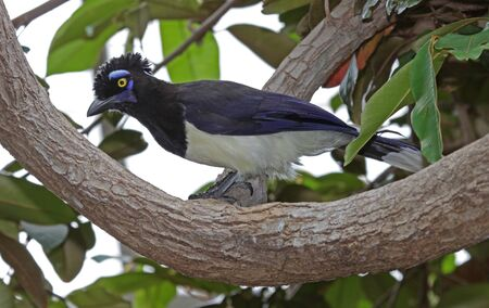 A Plush-crested Jay (Cyanocorax chrysops) perched on a branch. photo