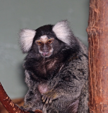 A common marmoset (Callithrix jacchus) sticking its tongue out.