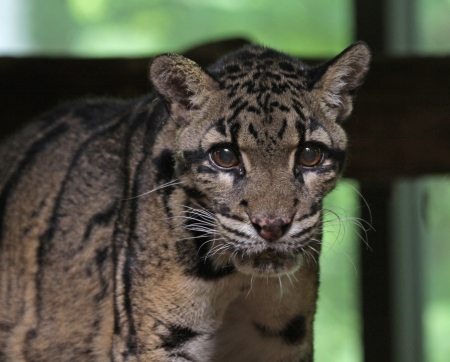 clouded leopard: The clouded leopard (Neofelis nebulosa) looking at the camera.
