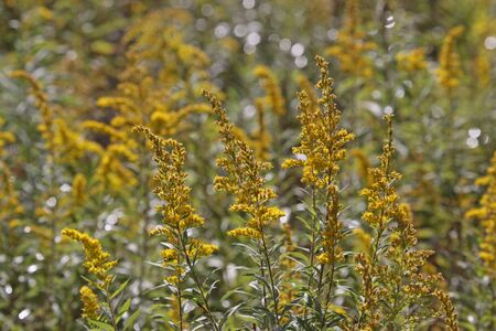 goldenrod: A field of goldenrod (Solidago) in full bloom. Stock Photo