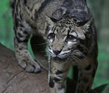 The clouded leopard (Neofelis nebulosa) looking at the camera.  Stock Photo - 16784664