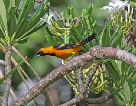orioles: An Altamira Oriole (Icterus gularis) sitting in a palm tree in the Mayan Riviera, Mexico.