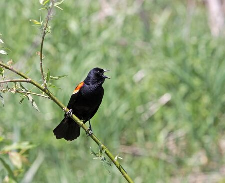 A male Red-winged Blackbird (Agelaius phoeniceus) singing from a perch.  Shot in Kitchener, Ontario, Canada. Stock Photo - 17102985