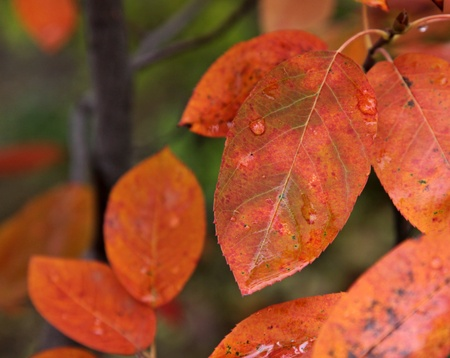 The orange leaves of a Serviceberry tree (Amelanchier) in fall. Stock Photo - 17213109