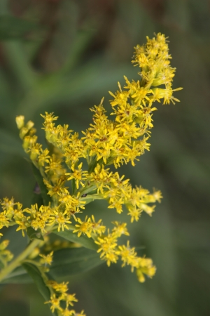 A stalk of goldenrod (Solidago) in full bloom.