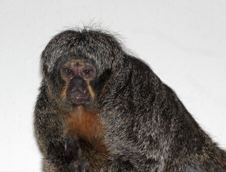 saki: A female White-faced Saki monkey (Pithecia pithecia) looking at the camera. Stock Photo