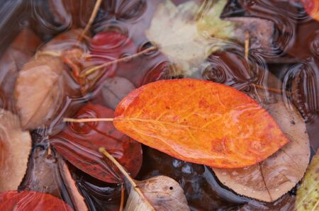 sugarplum: The orange leaf of a Serviceberry tree (Amelanchier) in fall, sitting in a puddle of water with other leaves. Stock Photo