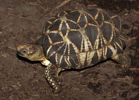 버마어 스타 거북이 (Geochelone의 platynota)는 버마에서 비판적으로 멸종 위기에 놓인 거북이입니다. 스톡 콘텐츠
