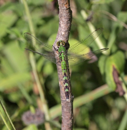 erythemis: A female Eastern Pondhawk (Erythemis simplicicollis) sitting a tree.  Shot in Cambridge, Ontario, Canada. Stock Photo