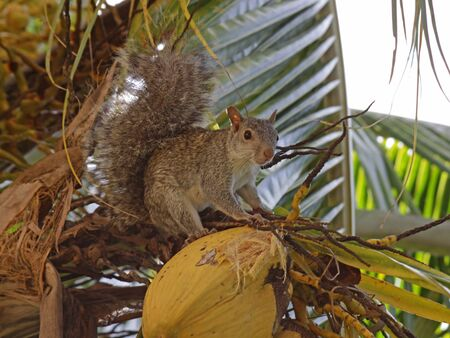 mayan riviera: A Mexican Gray Squirrel (Sciurus aureogaster) sitting in a palm tree.  Shot on the Mayan Riviera, Mexico.
