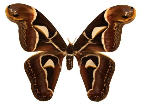 An isolated shot of a Cecropia moth (Hyalophora cecropia). Фото со стока