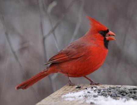 snow cardinal: A Northern Cardinal (Cardinalis cardinalis) feeding on seeds at a bird feeder, in winter.  Shot in Southern Ontario, Canada. Stock Photo