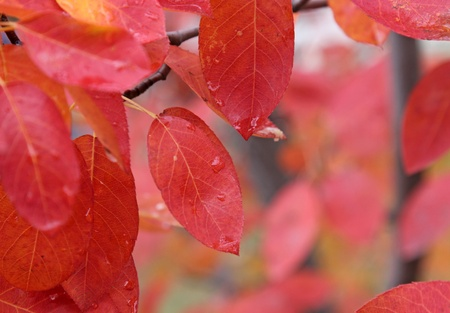sugarplum: The crimson leaves of a Serviceberry tree (Amelanchier) in fall. Stock Photo