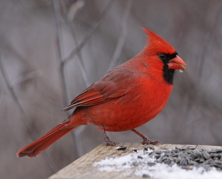 cardinal bird: A Northern Cardinal (Cardinalis cardinalis) feeding on seeds at a bird feeder, in winter.  Shot in Southern Ontario, Canada. Stock Photo