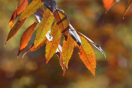 staghorn: The leaves of a Staghorn Sumac (Rhus typhina) in full fall color.