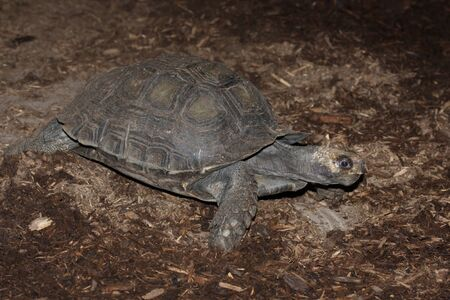 emys: The asian brown tortoise (Manouria emys) is an endangered tortoise found in Asia. Stock Photo
