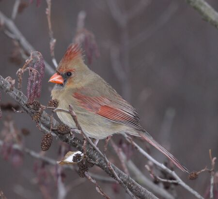 snow cardinal: A female Northern Cardinal (Cardinalis cardinalis) sitting in a tree, in winter.  Shot in Southern Ontario, Canada. Stock Photo
