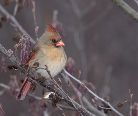 female cardinal: A female Northern Cardinal (Cardinalis cardinalis) sitting in a tree, in winter.  Shot in Southern Ontario, Canada. Stock Photo