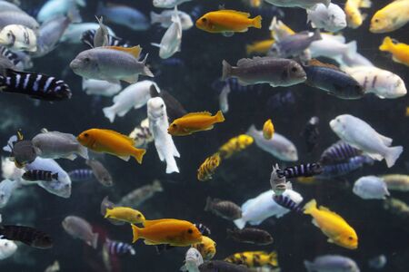 cichlid: Lots of Lake Malawi Cichlids (Cichlidae) swimming in a tank. Stock Photo