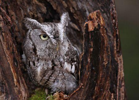 megascops: A close-up of an Eastern Screech Owl  Megascops asio  sitting in a stump  Stock Photo
