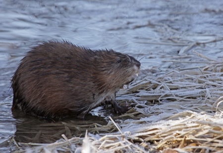 muskrat: A muskrat  Ondatra zibethicus  sitting on the shore of the Grand River, in Ontario, Canada