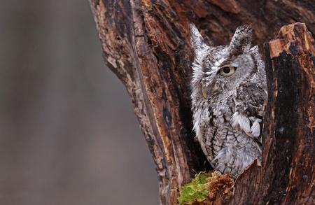 megascops: A close-up di un Orientale Screech Owl (Megascops ASIO), seduta in un ceppo.
