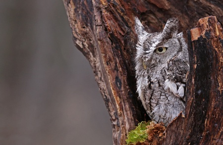 megascops: A close-up of an Eastern Screech Owl (Megascops asio) sitting in a stump. Stock Photo