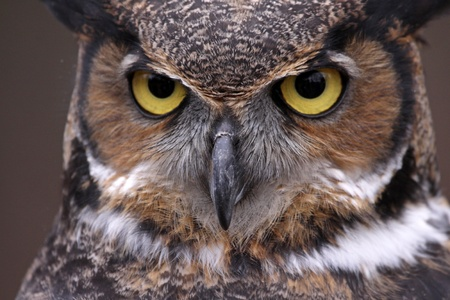 close up eyes: An extreme close-up of the face of a Great Horned Owl  Bubo virginianus